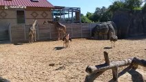Baby giraffe becomes best friends with an ostrich at Houston Zoo