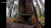 Two red squirrels loudly squawk and fight over food in Scottish Highlands