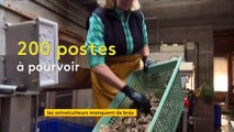 Dans la Manche, les parcs à huîtres recherchent des bras avant les fêtes