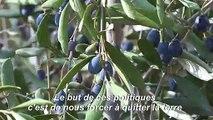 De l'autre côté du mur, les Palestiniens font la cueillette des olives