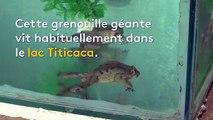 """Au Pérou, une espèce de grenouille géante aux vertus """"miraculeuses"""" menacée d'extinction"""