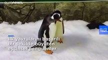 Eşcinsel penguenler ikinci kez baba olmaya hazırlanıyor