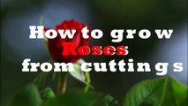 Best Way to Grow Roses from Cuttings without Rooting Hormone