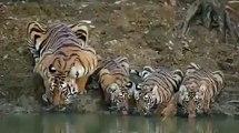 Une vidéo montrant une famille de tigre boit de l'eau dans la réserve de tigres de Pench
