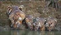 Cette famille de tigres se désaltère dans la rivière... Magnifique