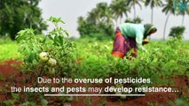 Farmers and consumers fall prey to pesticides