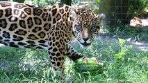 Vegan Big Cats? - FAQ Friday