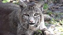 Sweet Old Lady Bobcat