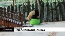 شاهد: باندا عملاقة تلهو فرحاً وسط ثلوج غرب الصين