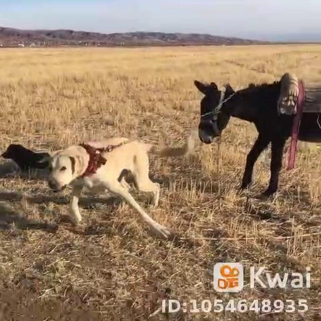 ANADOLU COBAN KOPEGi ve ESEK - ANATOLiAN SHEPHERD DOG and DONKEY