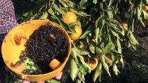 Bodrum mandalinasına 'esanslı' koruma - MUĞLA
