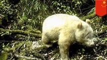 '야생에서 흰색 판다 발견, 세계 최초'외 4개