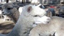 Mersin hayvan parkı'nın yeni misafirleri alpaka ve koati