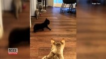Un chat naît avec deux visages