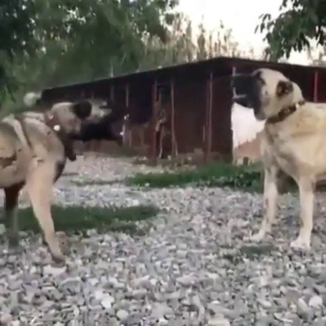 ANADOLU COBAN KOPEGi ve KANGAL KOPEGi YAKIN ATISMA - ANATOLiAN SHEPHERD DOG and KANGAL DOG VS
