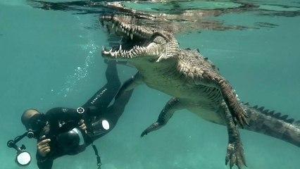 Duikers zwemmen met dodelijke zoutwaterkrokodil