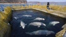 La polémica 'cárcel de ballenas' en el lejano oriente ruso libera a todas las belugas y orcas que tenían cautivas