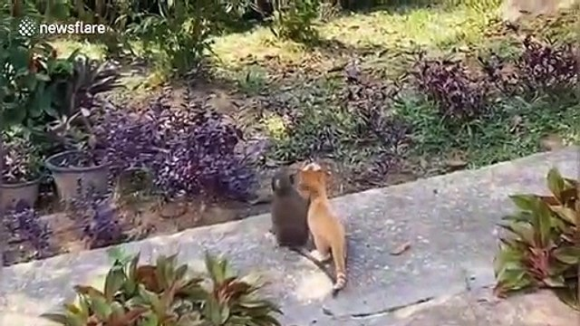 Sweet moment tiny monkey is captured putting its arm around kitten