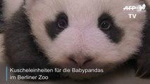 Kuscheleinheiten für die Baby-Pandas im Berliner Zoo
