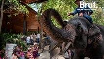 Enchaînés, affamés, frappés… en Thaïlande, des éléphants continuent d'être maltraités
