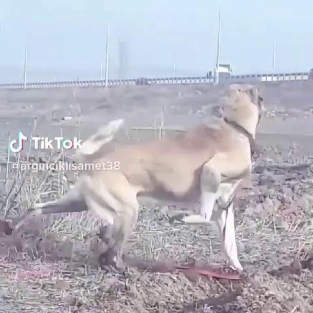 ANADOLU COBAN KOPEGi TOPRAGI HAVALANDIRMA GOREVi - ANATOLiAN SHEPHERD DOG 4 4