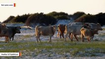 Cows Spotted In North Carolina After Getting Swept Out To Sea By Hurricane Dorian