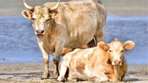 ABD: Kasırgada denize sürüklenen 3 inek, kilometrelerce uzakta ortaya çıktı