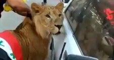Irak'ta bir gösterici, meydana aslanla indi