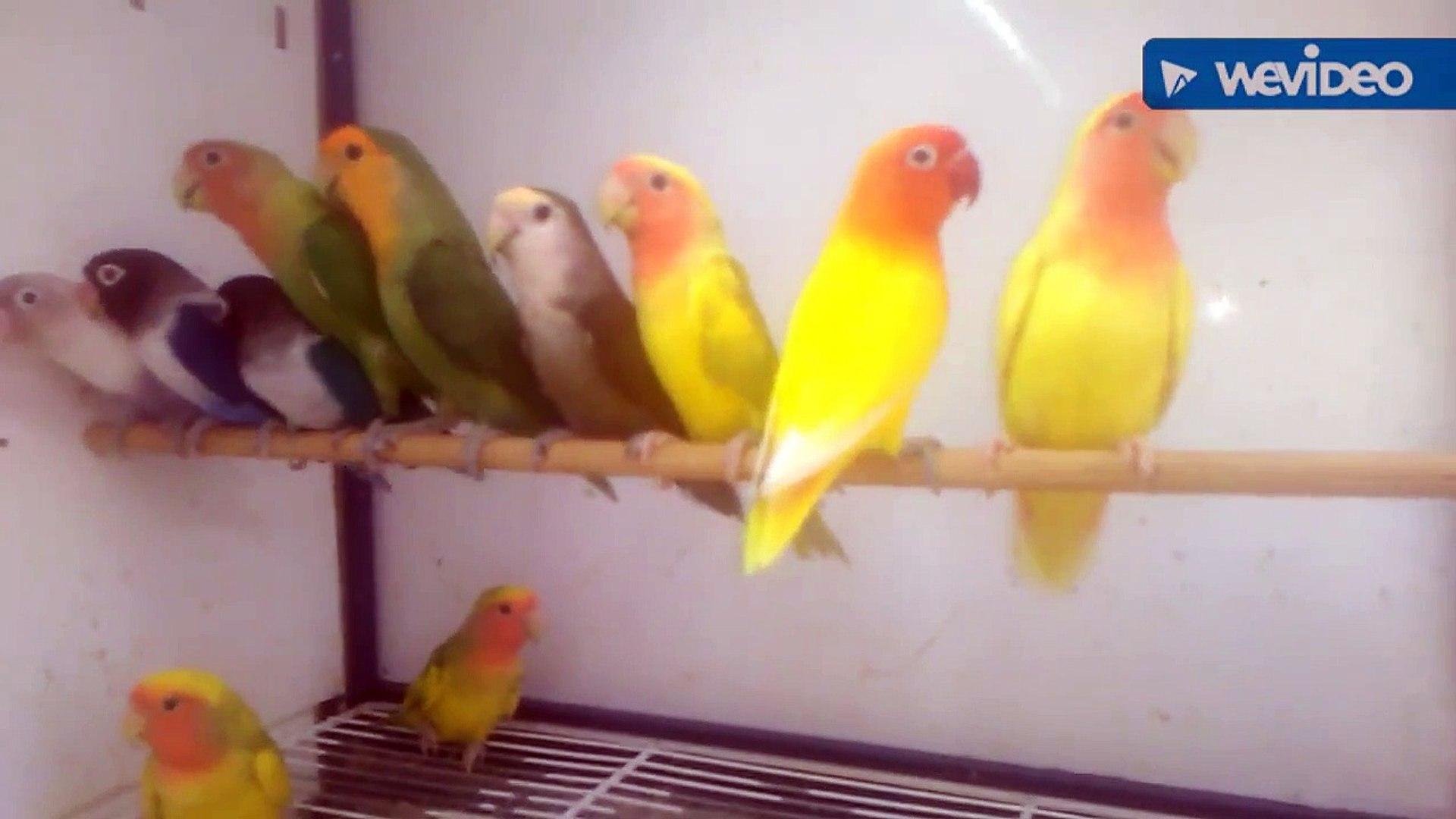 Sultan papağanı kanarya sesleri bülbül muhabbet kuşları kanarya sesleri videosu