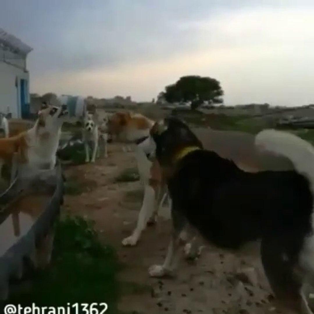 iRAN COBAN KOPEKLERiNDEN KARSILASMA ve ATISMA - PERSiAN SHEPHERD DOG VS