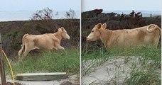 États-Unis : trois vaches, emportées par un ouragan, retrouvées vivantes trois mois plus tard sur une île voisine