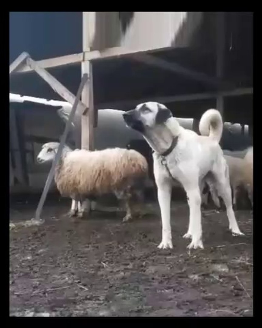 SiVAS KANGAL AGIL GOREV BASI - KANGAL DOG and SHEEPS