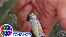 Nuôi cá linh thương phẩm, hướng đi mới khi nguồn cá dần cạn kiệt