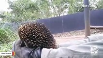 Tiny Echidna Surprises With A Giant Sneeze