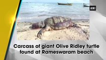 Carcass of giant Olive Ridley turtle found at Rameswaram beach