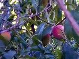 Belle of Georgia Peach tree Seedling growing fine in California Zone 9