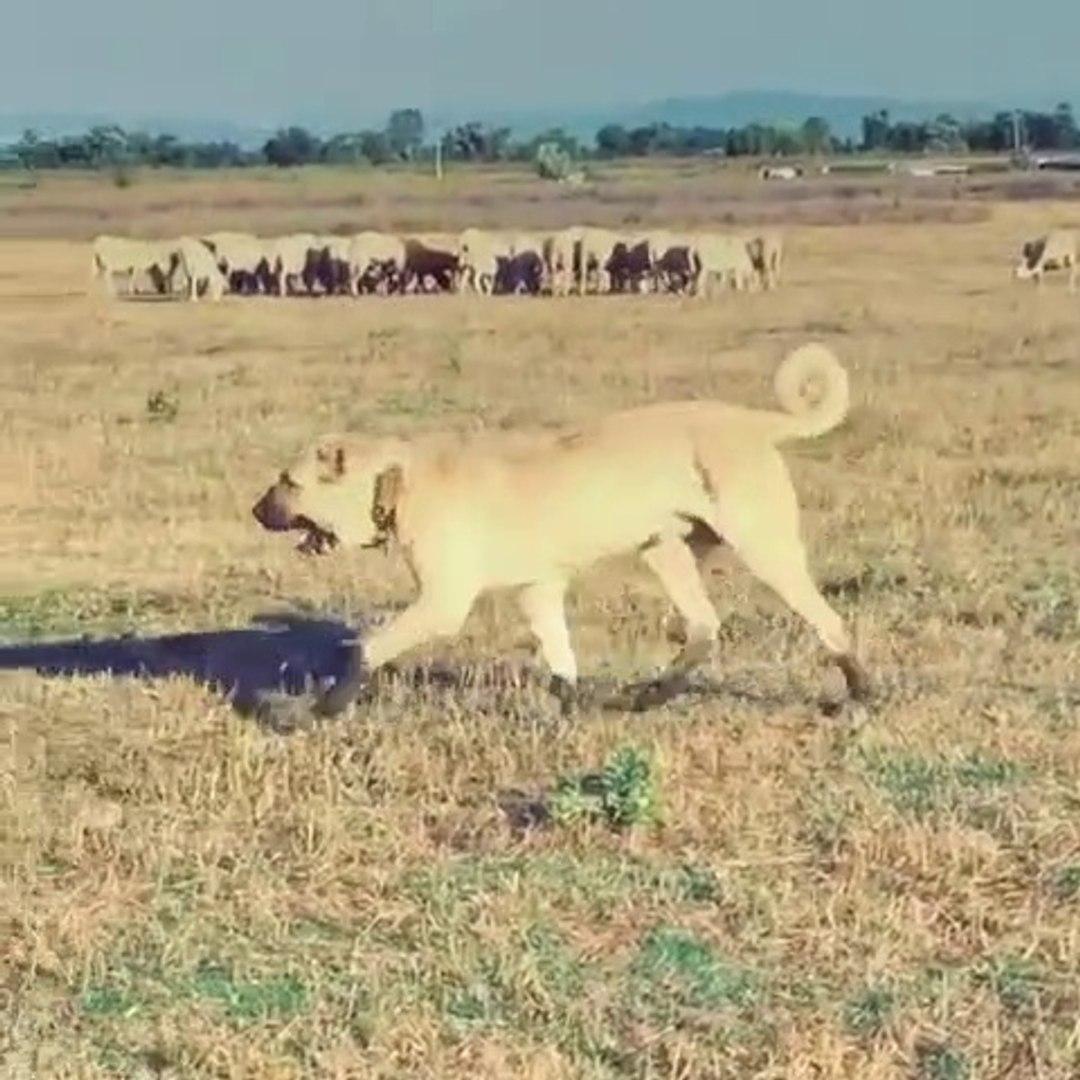 ASAYiS BERKAMAL DiYEN ANADOLU COBAN KOPEGi -ANATOLiAN SHEPHERD DOG at MiSSiON