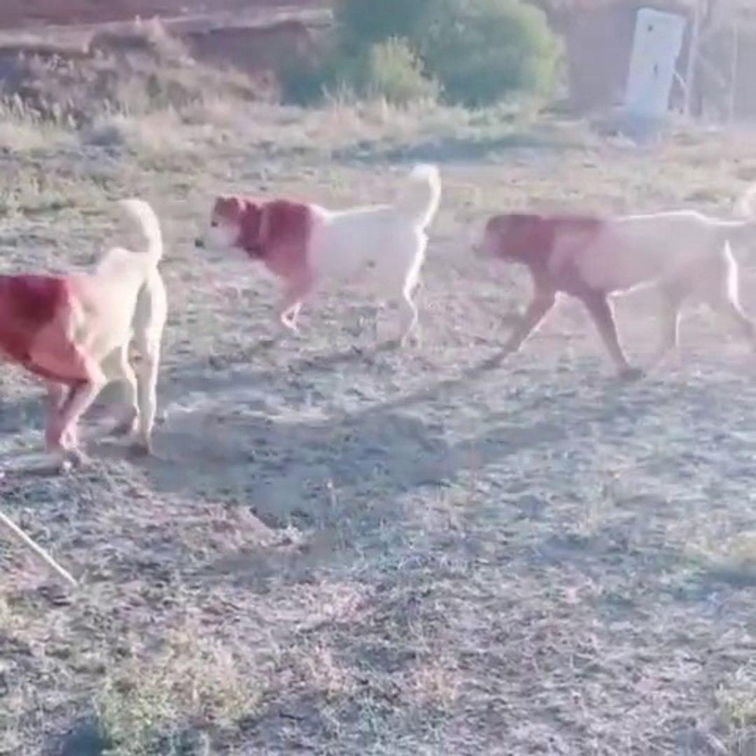 AKBAS ve ANADOLU COBAN KOPEKLERi - AKBASH and ANATOLiAN SHEPHERD DOG