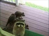 Une maman raton laveur emmène ses 4 petits sous le porche pour demander à manger