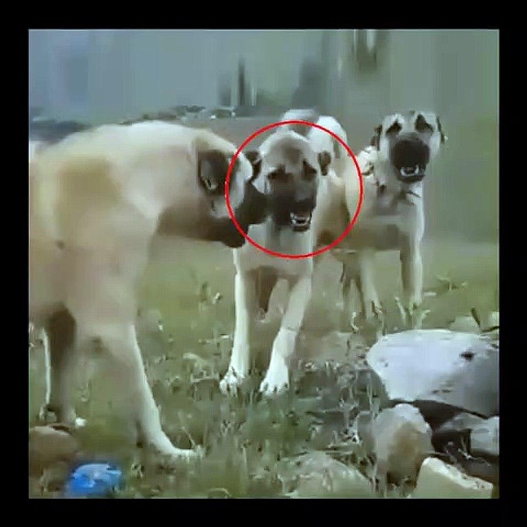 SiVAS KANGAL KOPEKLERiNDEN SAKINCALI ATISMA - KANGAL SHEPHERD DOGS VS