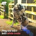Have you ever wondered how Dalmatians actually get spots_ - Naturee Wildlife
