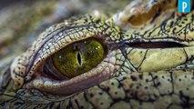 Australie : un garde-forestier survit à une attaque de crocodile grâce à un doigt dans l'œil
