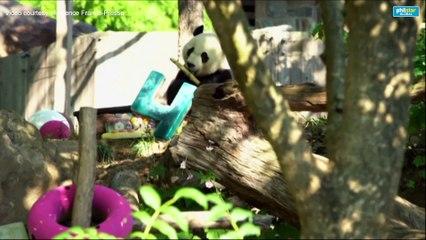 WEB Washington zoo says bye bye to Bei Bei