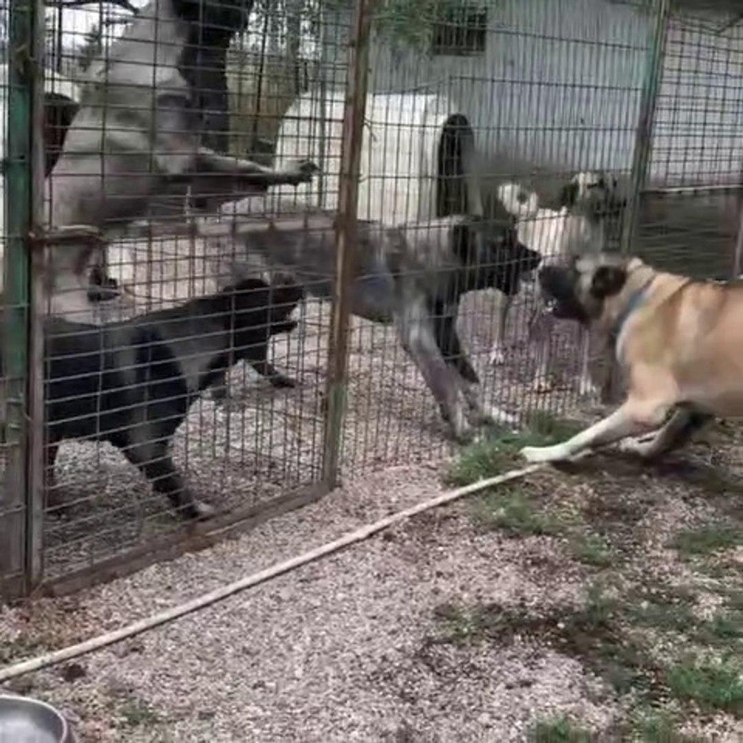 KANGAL KOPEKLERi CiFTLiGiNDE YAKIN ATISMALAR - KANGAL DOGS FARM VS NEAR