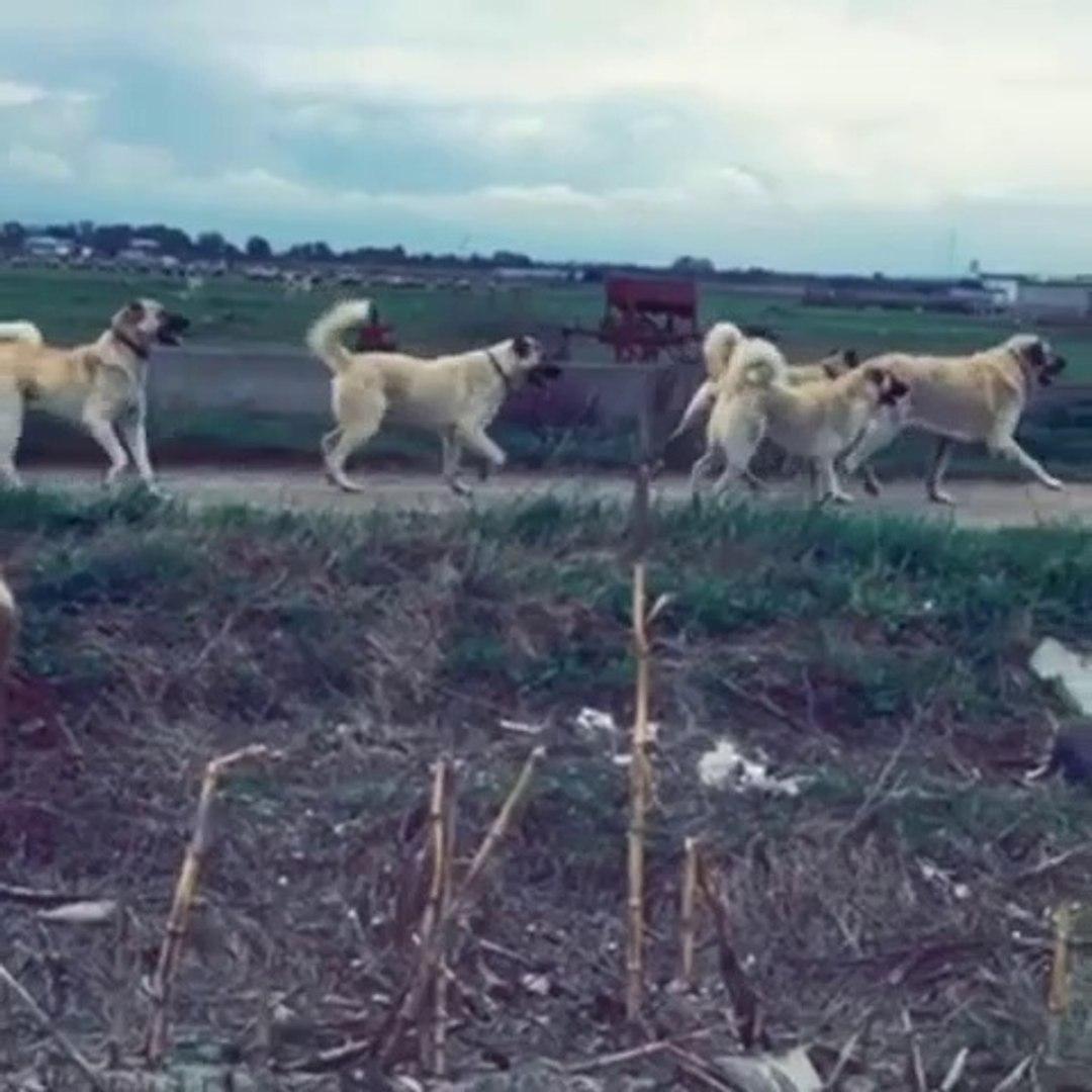 KANGAL KOPEKLERi GOREViMiZ TEHLiKE - KANGAL DOG MiSSiON iMPOSSiBLE