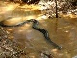 Il croise la route d'un énorme anaconda dans un tout petit cour d'eau