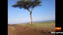 Une lionne vient aider son petit lionceau coincé dans un arbre