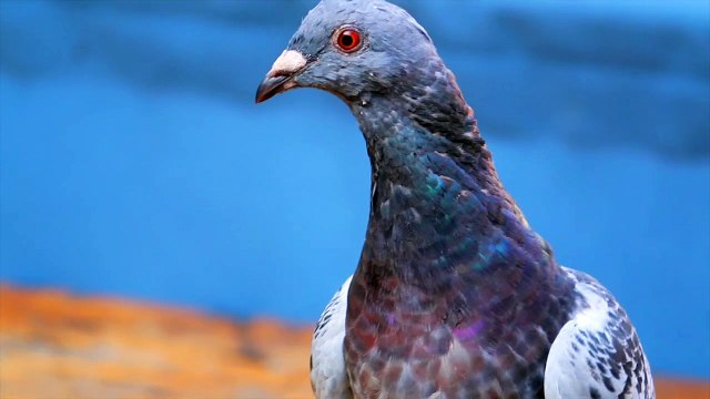 Scientists Are Using Dog Bones To Heal Pigeons' Fractured Wings