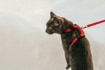 Comment promener son chat ?