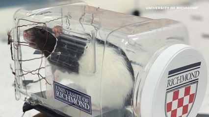 Scientist Explains Why Her Lab Taught Rats to Drive Tiny Cars